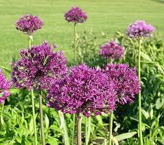 allium flowers allium purple sensation white flower farm