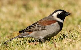 cape sparrow wikipedia