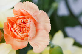 birth flowers january carnations u0026 snowdrops growing family