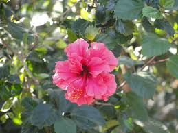 file a closeup of flower of hibiscus sp jpg wikimedia commons