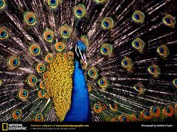 peacock picture peacock desktop wallpaper free wallpapers