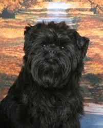 affenpinscher and chihuahua affenpinscher breed information history health pictures and more