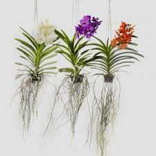 vanda orchids the best way to grow vanda orchids is to grow them bare rooted in