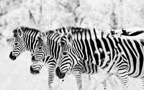 46 zebra backgrounds collection for mobile bsnscb graphics