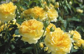 Fragrant Rose Plants - rose u0027molineux u0027 ausmol