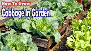 how to grow cabbage in garden gardening tips youtube