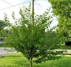 fruit tree care summer pruning stark bro s