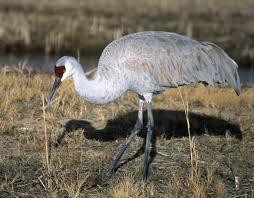 sandhill crane on the wild side of the arkansas river valley