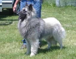 owning a belgian sheepdog welcome to u003cfont size u003d
