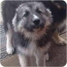 belgian sheepdog alberta jane adopted puppy delia ab german shepherd dog maremma
