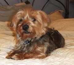 dorkie dachshund yorkie mix info temperament puppies pictures