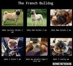 French Bulldog Meme - bernie the frenchie m is for meme