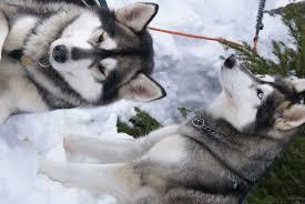 american eskimo dog cost in india siberian huskies dogs pinterest beautiful siberian huskies