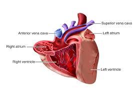 Sheep Heart Anatomy Quiz The Heart Ck 12 Foundation