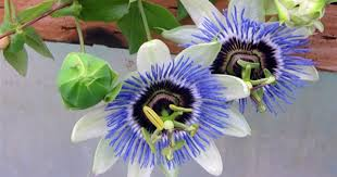 Flowers Information - ever thought why this plant is known as krishna kamal plant