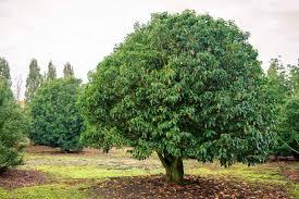 arbuste feuillage pourpre persistant des petits arbres pour petits jardins jardin du sens