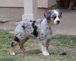 is an australian shepherd smart australian shepherd breeders texas