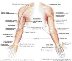 Muscle Anatomy Of Shoulder Duke Anatomy Lab 10 Prelab Shoulder Axilla U0026 Arm