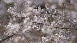 white cherry blossom white cherry blossom blowing in wind free stock footage