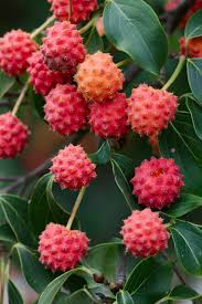 edible australian native plants cornus kousa the kousa dogwood tree has edible fruits and they