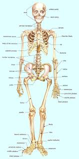Images Of Human Anatomy And Physiology The 25 Best Human Skeleton Ideas On Pinterest Skeleton Anatomy