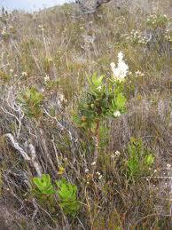 montana native plant society australian plants society tasmania inc flora page 1