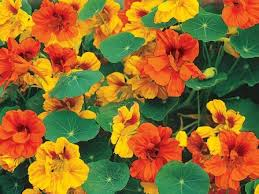 nasturtium flowers heirloom nasturtium flower seeds flowerseedstore