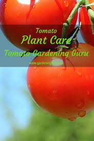 best 25 tomato plant care ideas on pinterest tomato garden