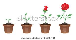 Life Cycle Of A Flowering Plant - plant life cycle illustration download free vector art stock