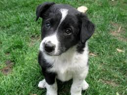 australian shepherd x border collie puppies choosing collie and shepherd crosses puppies for sale dogs for