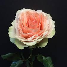 the enchanted petal rose