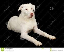 australian shepherd queensland australian shepherd dog laying stock photos images u0026 pictures