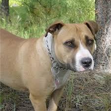 american pit bull terrier registry american pit bull terrier american pit bull terriers breed
