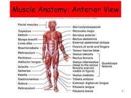 Human Anatomy Anterior Muscular System Histology And Physiology Ppt Download