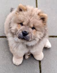 the stuff makes me happy the 20 cutest photos of chow chow dogs
