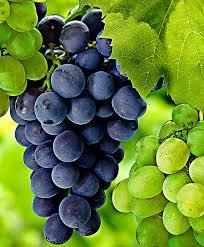 buy grape vine bakker com