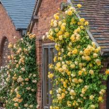 Climbing Plants For North Facing Walls - roses ideal for north facing walls david austin roses