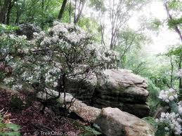 kalmia latifolia mountain laurel in bloom at shallenberger trekohio