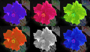 picture beutiful hibiscus flower in six colour flowers 1920x1118