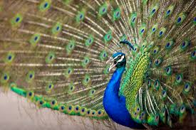9 feathery facts about peacocks mental floss
