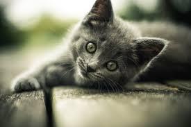 alimentazione casalinga gatto alimentazione di un cucciolo di gatto