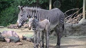 newborn baby zebra denver zoo youtube