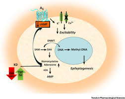 adenosine as a multi signalling guardian angel in human diseases