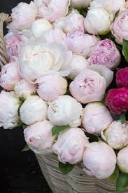 The Pink Peonies by Paris Photography Paris Pink Peonies French Market Parisian