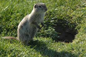 public health prevention tip treasure valley ground squirrel
