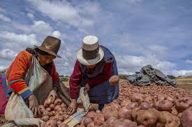 where was the first thanksgiving located who first farmed potatoes archaeologists in andes find evidence