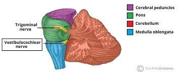 Gross Anatomy Of The Brain And Cranial Nerves Worksheet The Vestibulocochlear Nerve Cn Viii Balance Hearing