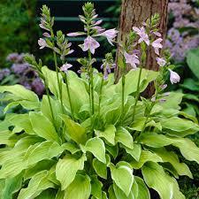 Fragrant Bedding Plants Buy Hosta Fragrant Collection J Parker Dutch Bulbs