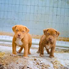 american pitbull terrier mix mix wallpaper cave pit bull wikipedia pit american pitbull terrier