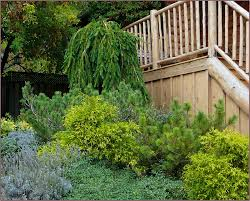 outdoor u0026 garden using weeping norway spruce for beautiful